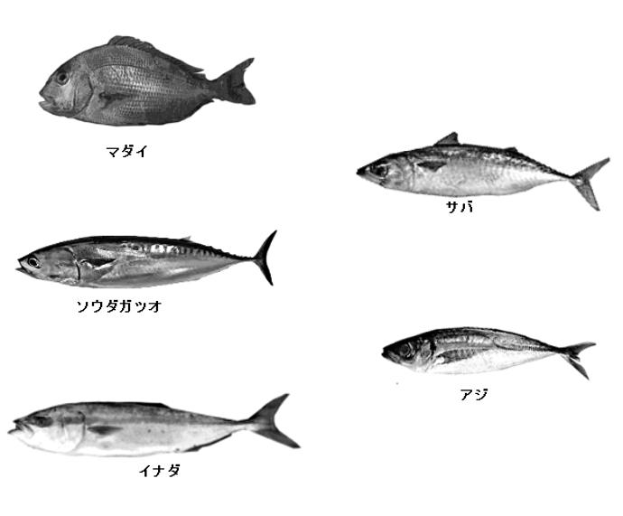 カゴ釣りで釣れる魚