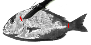 大型魚の締め方