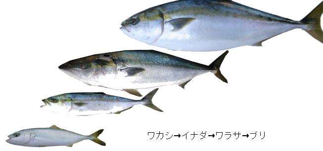 出世魚の種類 <゜)))彡 魚速報